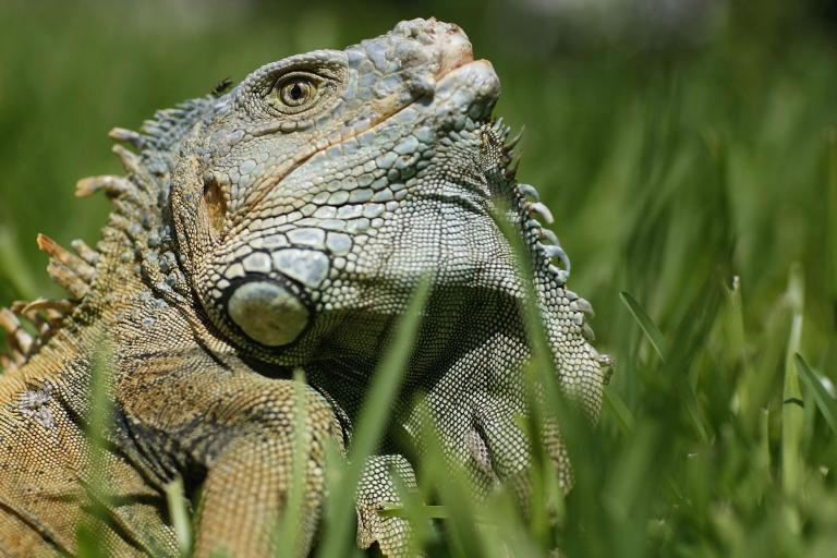 Florida residents urged to kill iguanas whenever possible amid overpopulation fears