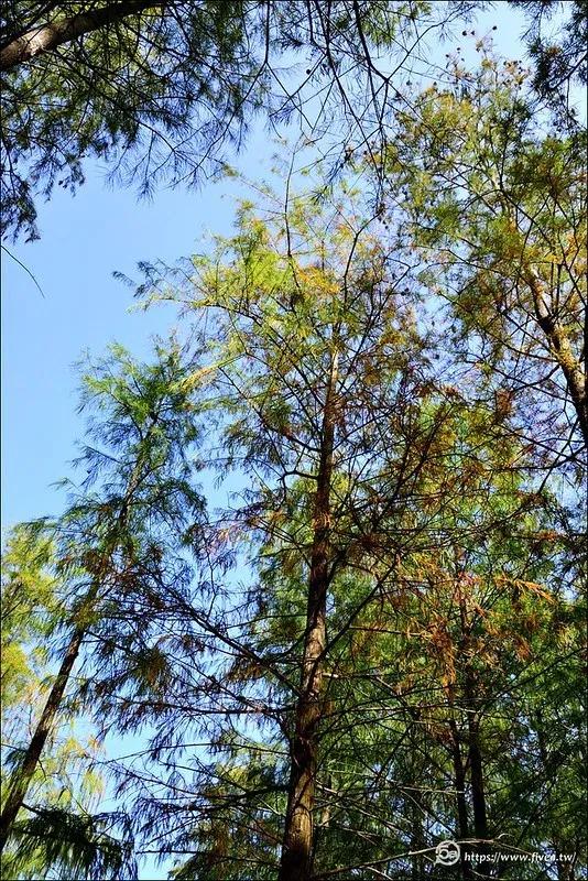 泰安落羽松祕境