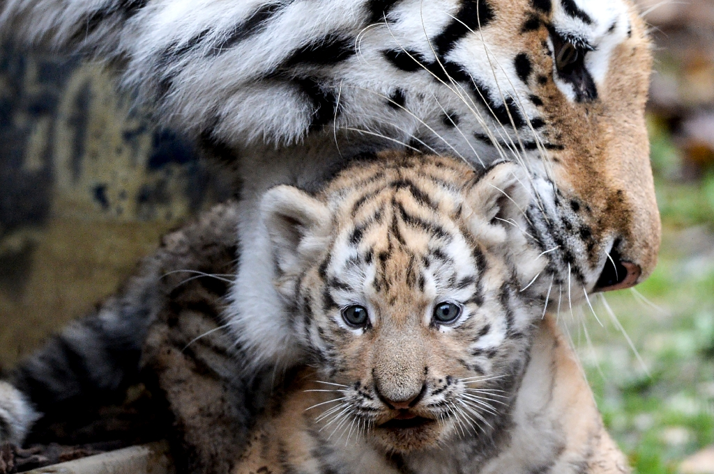 Baby tigers in the wild