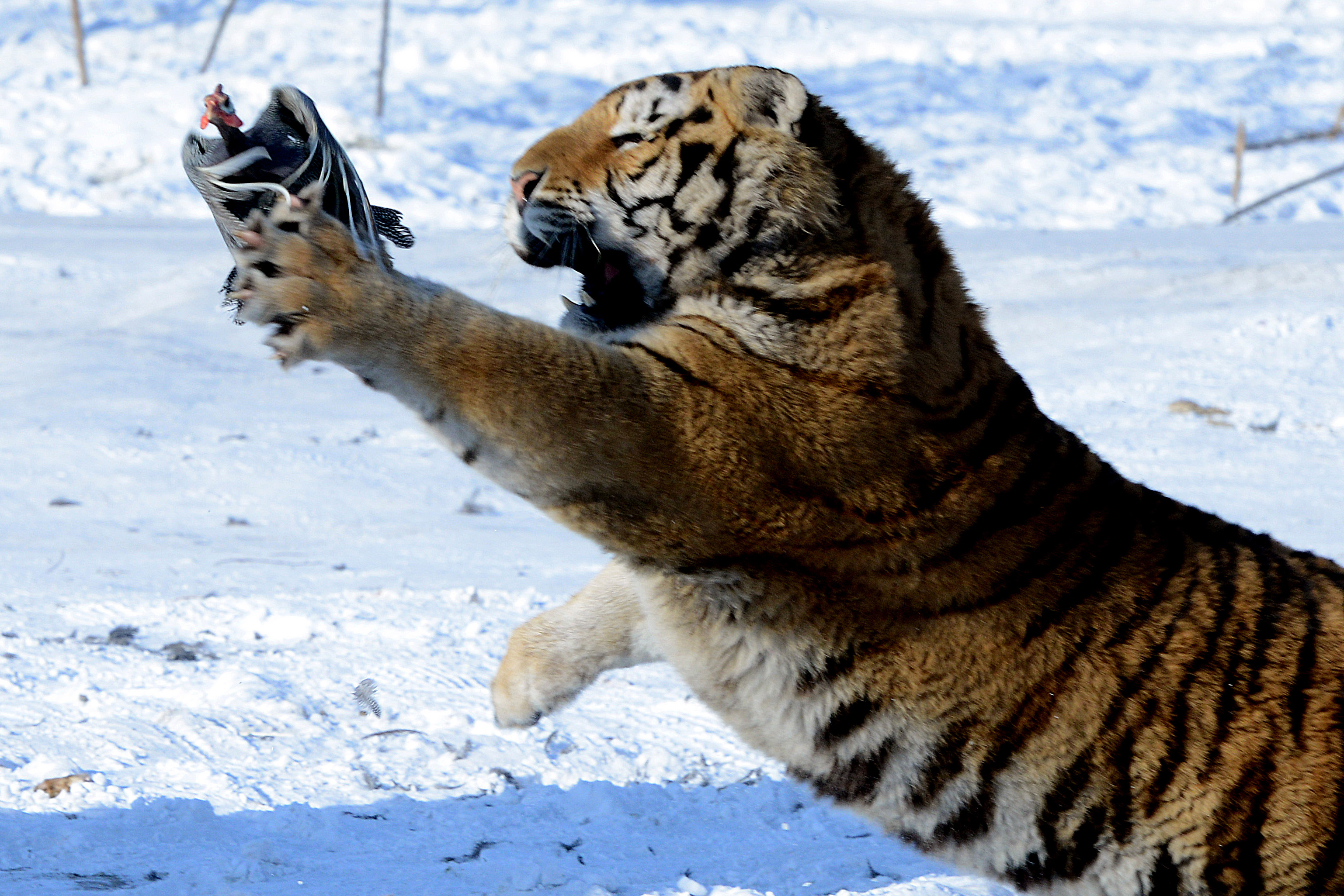 Siberian Tiger  Tiger Facts and Information