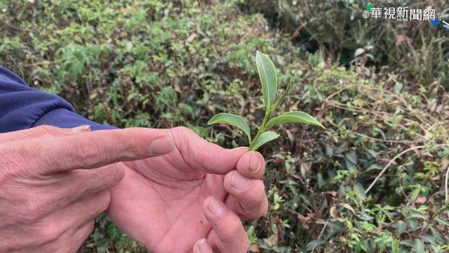 旱象難解春茶減產三成 茶農叫苦連天