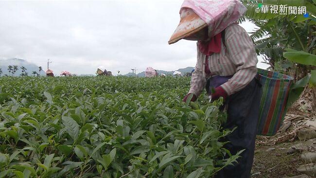 台東採茶工年齡老化 盼青年返鄉培訓
