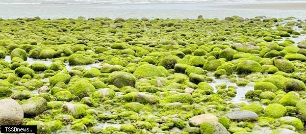 苑裡西平里海岸綠藻 季節限定美景抹茶海岸
