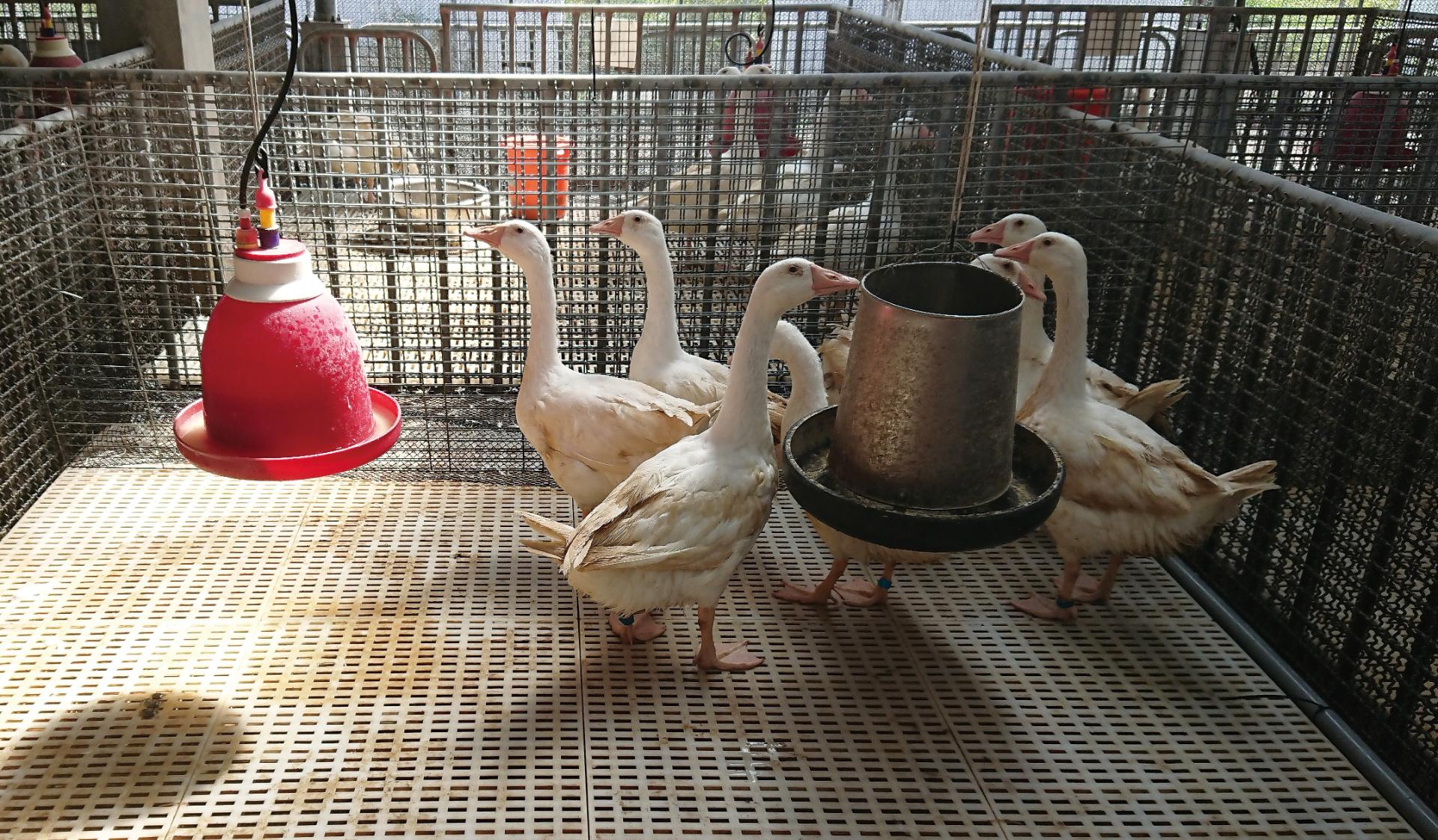 原來這些都是寶!開發紅茶渣作肉鵝飼料添加物 - Yahoo奇摩新聞