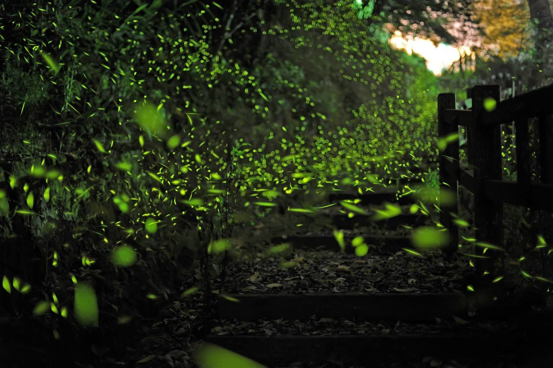 梅山鄉瑞峰村竹坑溪步道也是一處極為熱門的賞螢景點。圖:取自慢遊嘉義螢向新世界活動網站
