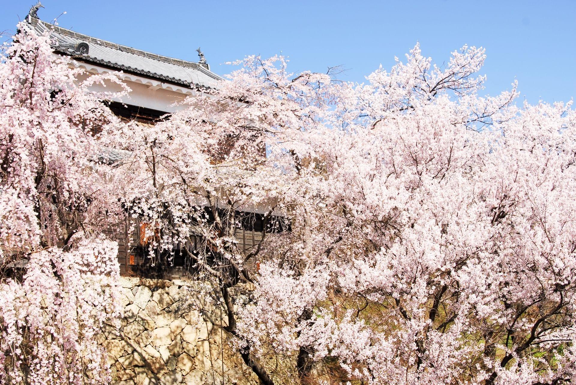 【長野】「上田城」與真田丸一同賞櫻,紅色六文錢的千本櫻祭典