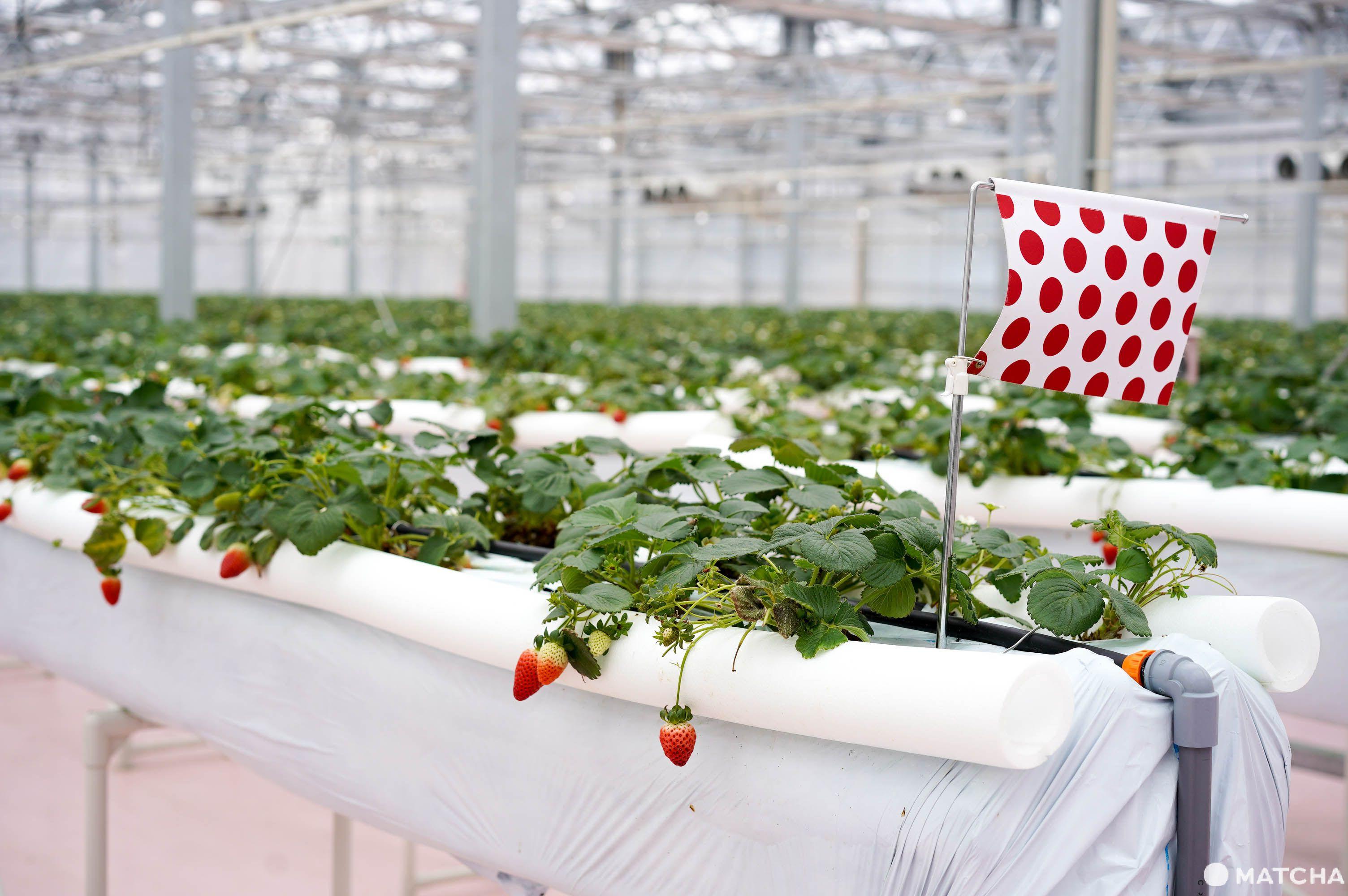 TOKYOK東京採草莓