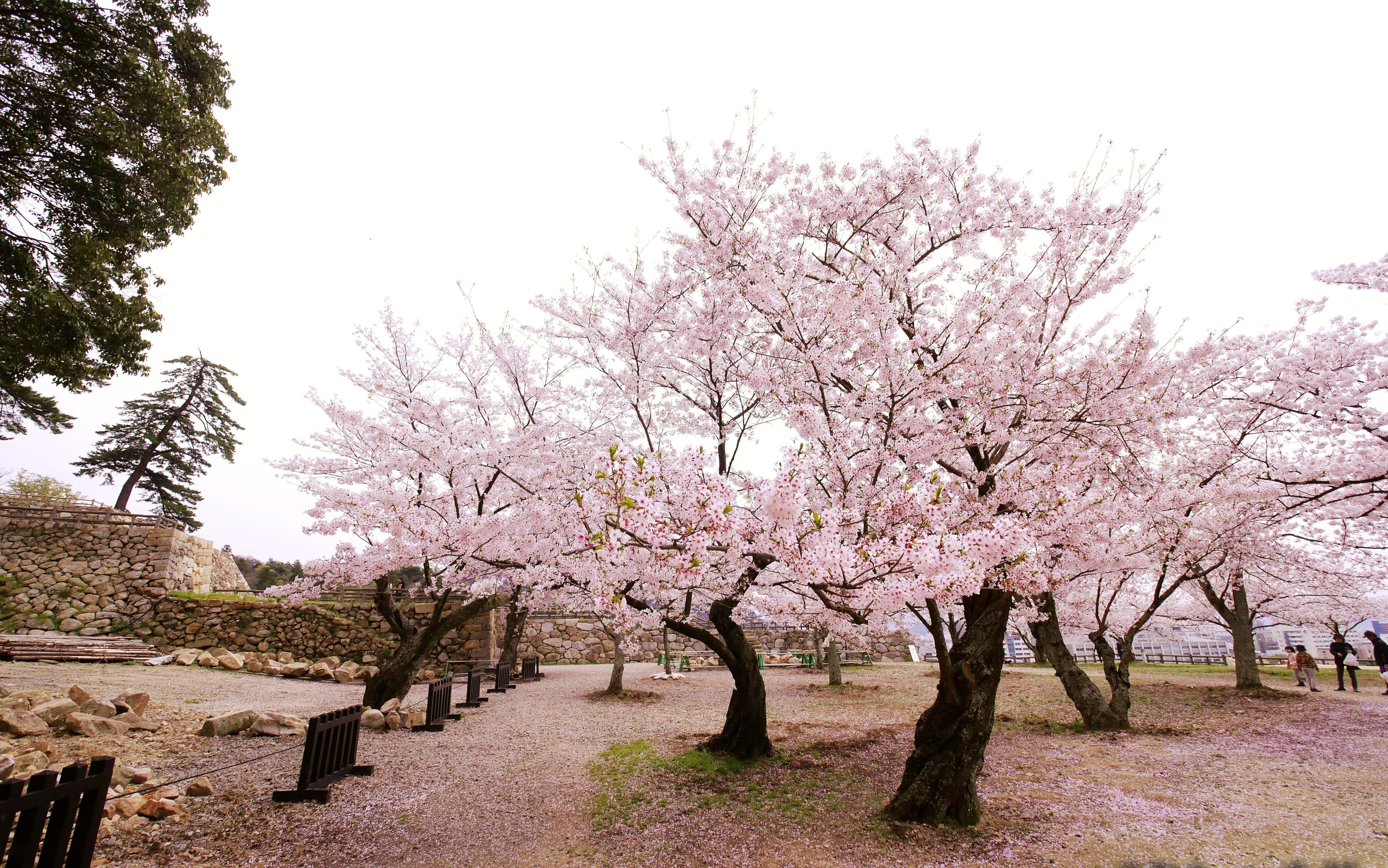 【日本中國】島根、鳥取、岡山、廣島、山口 賞櫻五大名所
