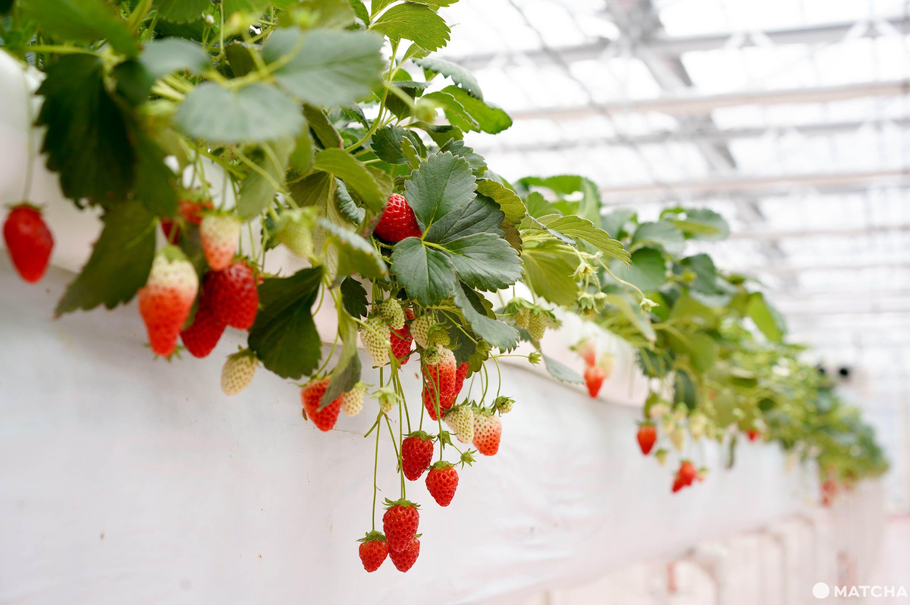 橫濱採草莓