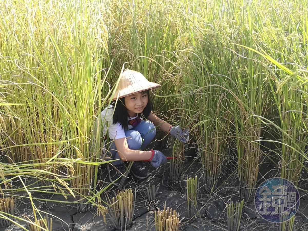 7月13日「大地遊戲」,都市小孩將首度嘗試下田割稻。