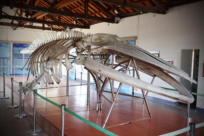 鹽田生態文化村裡頭空無一人的鯨豚館也有抹香鯨標本,這些可憐的鯨魚都曾誤入海灘擱淺而來。