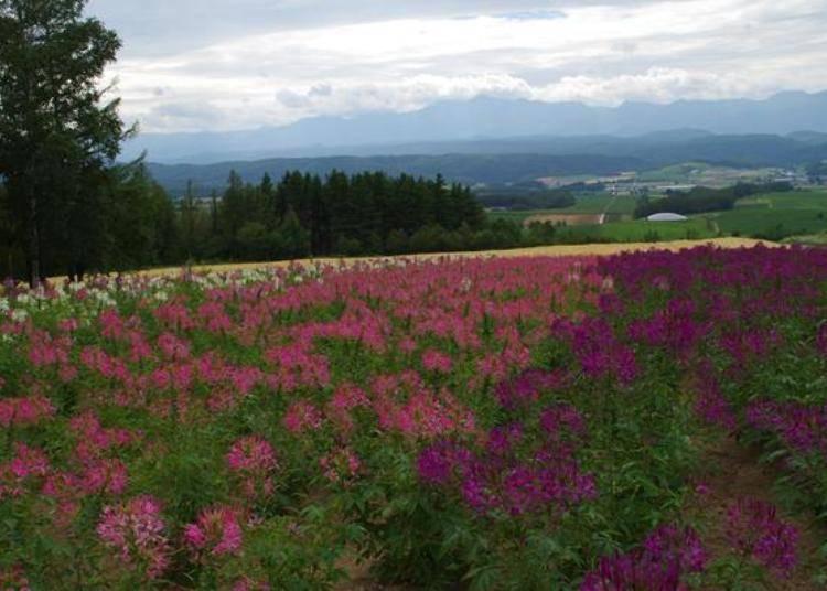盛開的醉蝶花田。醉蝶花的賞花期是每年8月上旬到8月下旬。