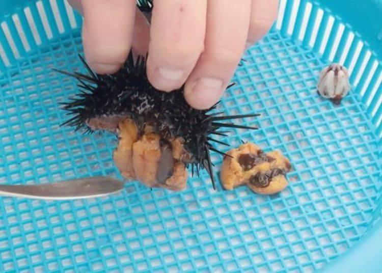 將刮出來的海膽肉放入濾網盆內。
