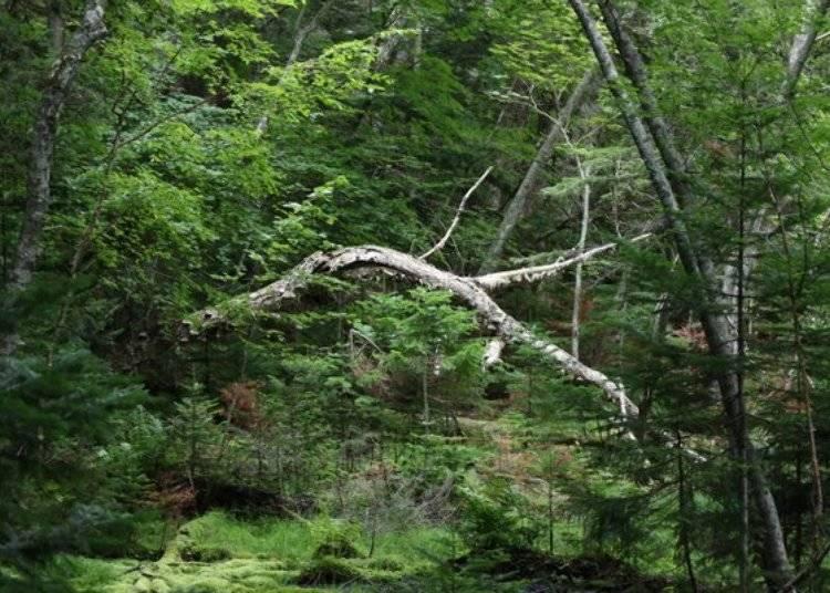 ▲遠內多湖東側的廣大原生林,保留了古老原始的風貌