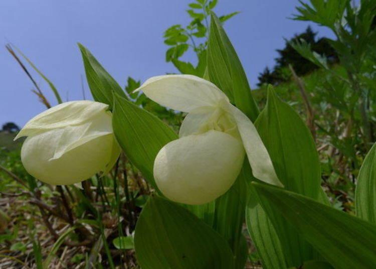 禮文敦盛草(照片提供:禮文花卉導覽團組)。