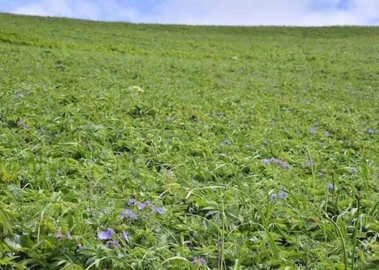 很多高山植物都盛開了。紫色的花朵是「千島風露」。