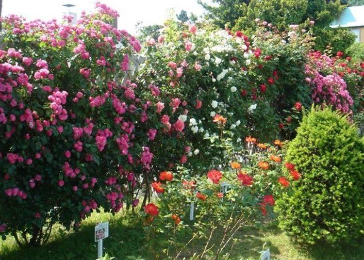 ▲約有60種的玫瑰花盛開綻放。