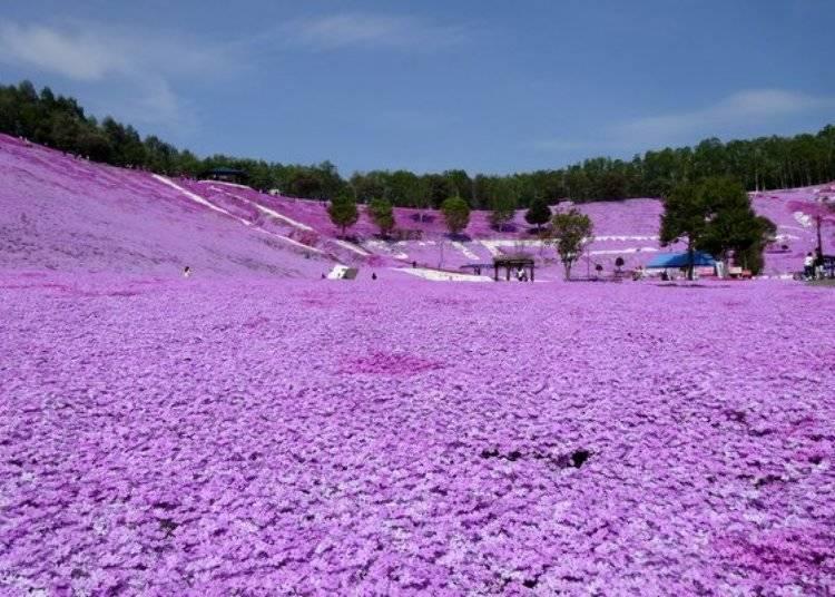 這一片粉紅色的芝櫻花海,真是讓人大開眼界!