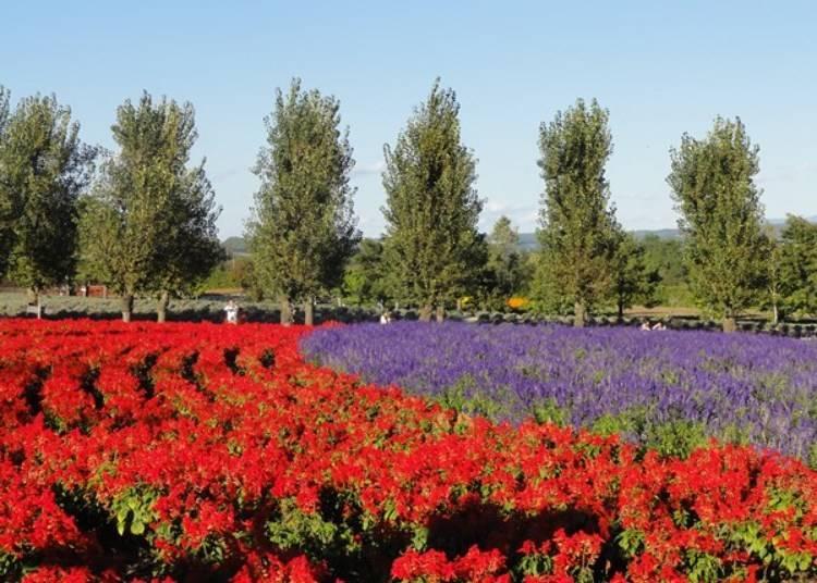 除了薰衣草以外,其他還有罌粟、一串紅等各式各樣的花卉,從春天到秋天都能眺望美麗迷人的花園。