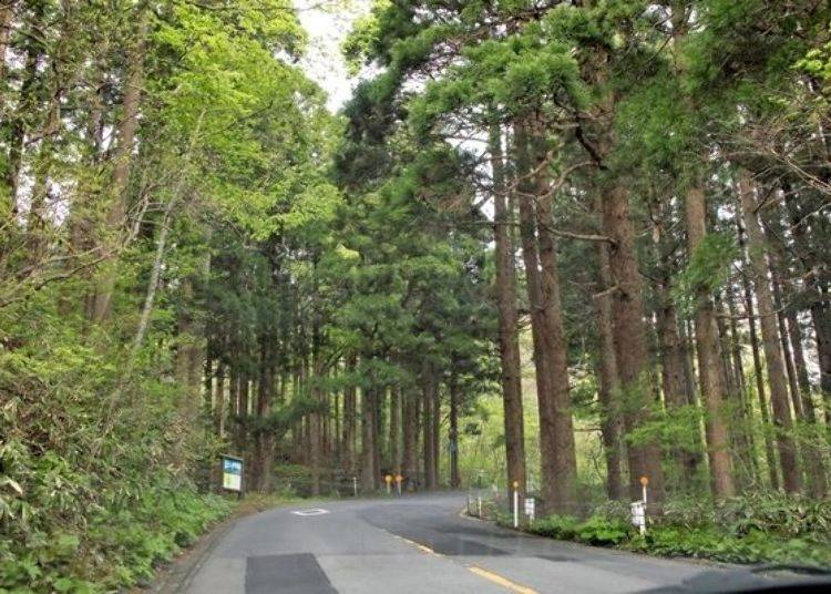 ▲函館山觀光道路。巴士行駛於在北海道內非常稀奇的杉樹林間。