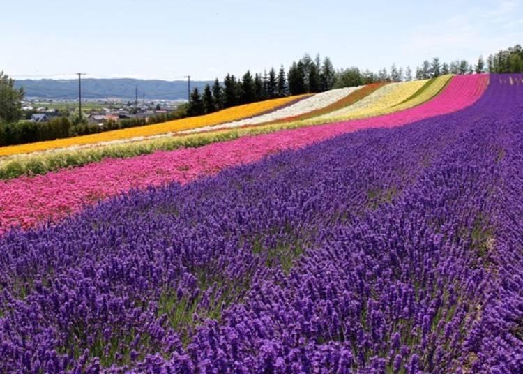 這片山丘上的七彩繽紛花田就是有名的攝影景點「彩色花田」。