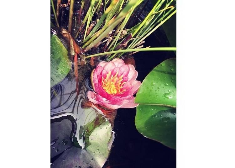 無心庵庭院內盛開的水蓮