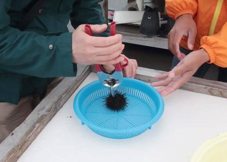 將海膽的嘴巴面向下放,將剖開的器具放在海膽的正上方輕輕的刺進去。注意不要太用力以免破壞了裡面的海膽肉。