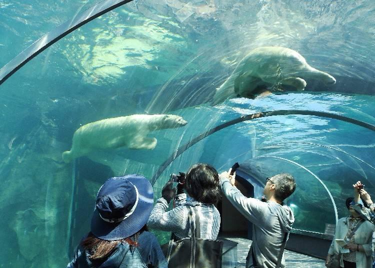 能看見北極熊在眼前游泳的模樣
