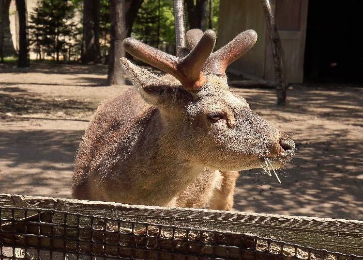 正在吃飯的蝦夷鹿彷彿伸手就能碰觸般靠近