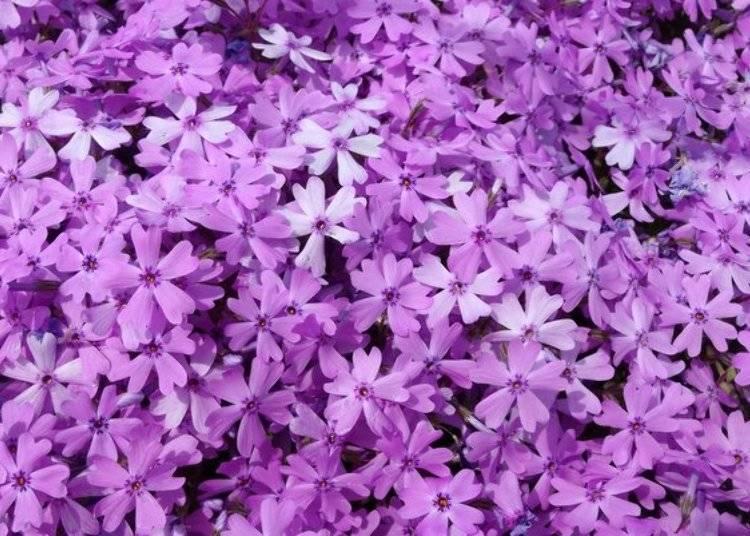 中鉢先生將一片廣闊的土地變成絕美風景的念想,如今還留在每一朵花朵上。