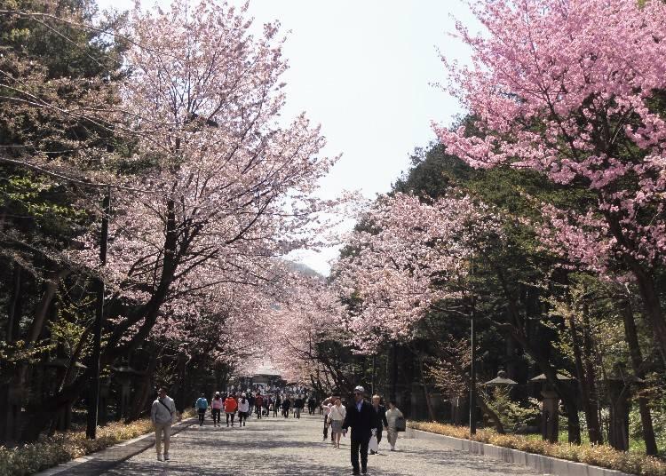 5月上旬進入櫻花滿開期時北海道神宮表參道兩旁的櫻花樹盛開的情景。