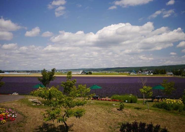 從展望平台上放眼望去的薰衣草花田。眼前這片就是「風香之丘」。