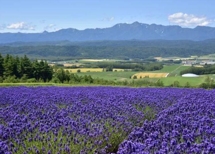 各個景點都可以欣賞到壯麗的風景與薰衣草田,這可是富良野地區的魅力喔!