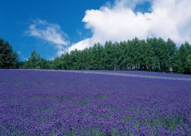 山丘斜面開滿了一整片傳統薰衣草的花田也是必看的景點!