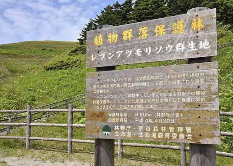 告示牌後方的斜坡上,有一朵朵盛開的「禮文敦盛草」。