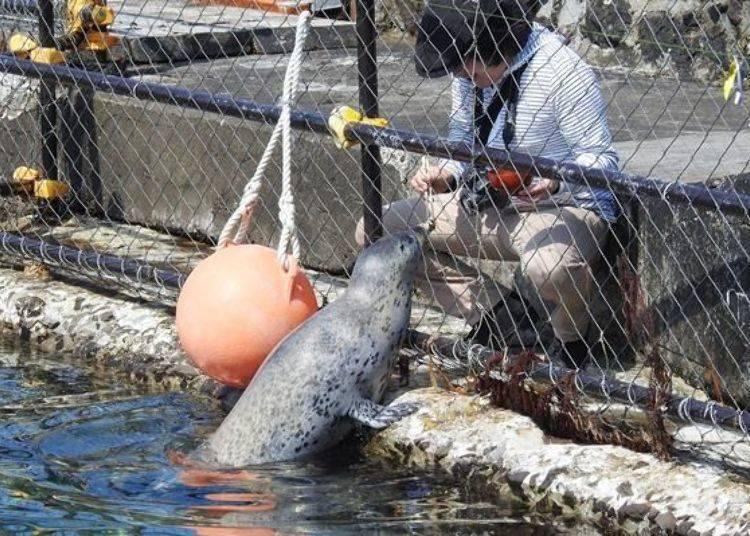 可以在附近的店舖買飼料(100日圓)餵食。海豹看到食物便會很開心地衝過來!