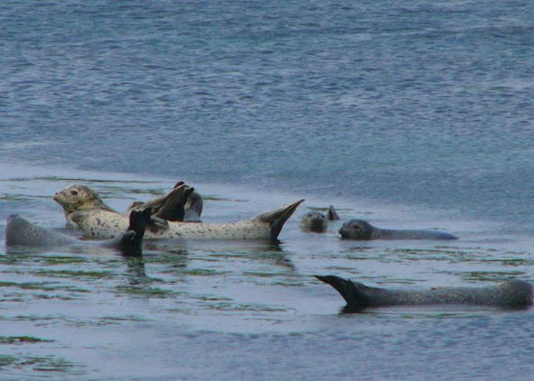 在岩石上輕鬆自在的海豹們(照片提供:禮文花卉導覽組)
