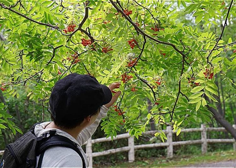 中途來到了合花楸廣場,看到了好多鮮紅的合花楸果實!