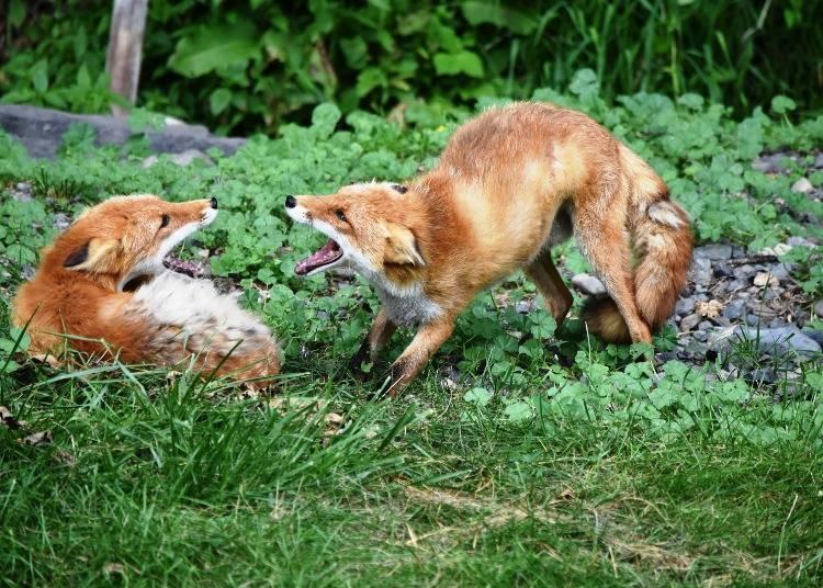 快樂在玩耍的北狐們