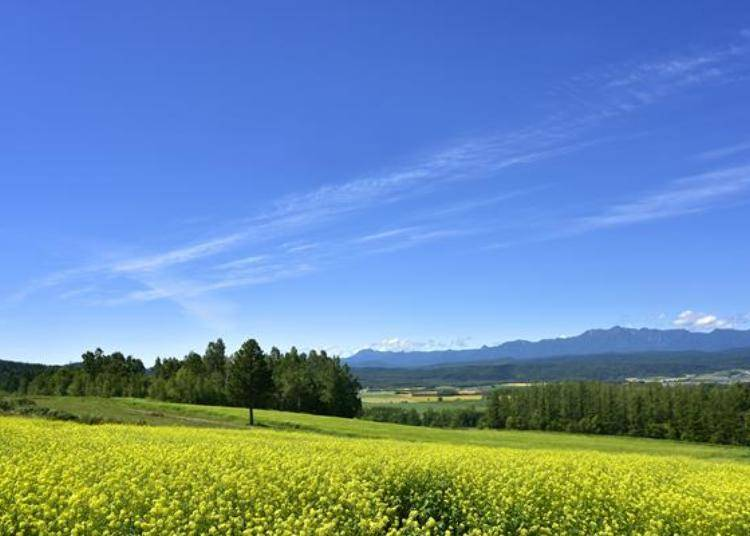 真的是太美了!每年8月中旬的時候,就是一大片金黃的油菜花田。