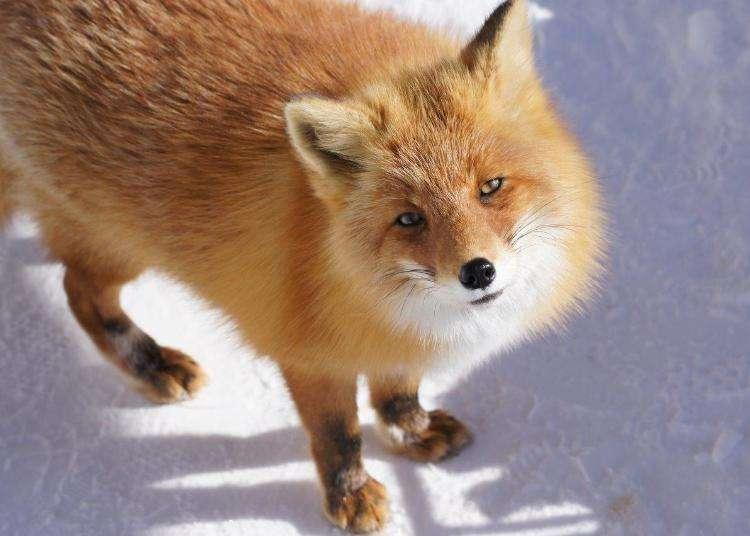 北海道「北狐牧場」的徹底導覽&周邊資訊