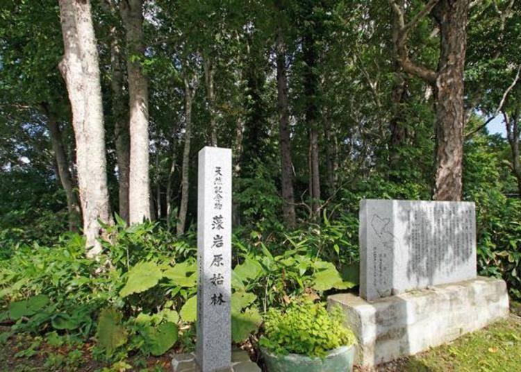 藻岩原始森林被認定為天然紀念物。可以接近大自然感受藻岩山自然的魅力。