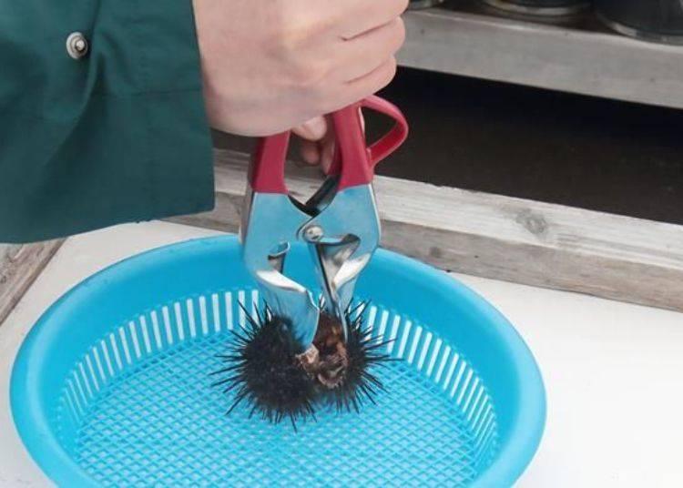 輕輕刺著然後將握把的地方壓下去後,海膽的殼就會隨著開口處啪的一聲分成兩半。