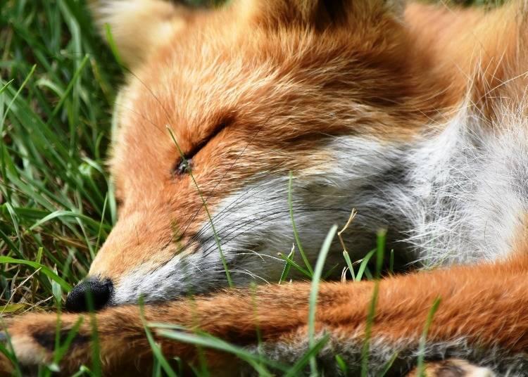 玩累的北狐,就算人類接近也不會醒