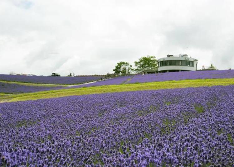整片山坡都種滿了絢爛的紫色薰衣草,可以從眺望台上觀望這片薰衣草花海喔!
