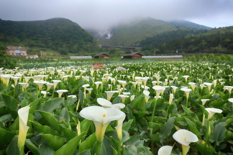 竹子湖海芋花田生產總面積約有十二公頃,占全台海芋產量百分之八十以上。圖:取自2019竹子湖海芋季數數海芋網站