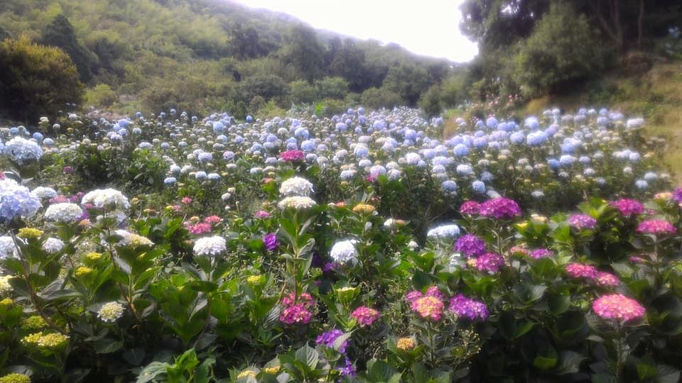 午後陽光繡球花田今年度將於15號正式開放,圖為去年花況。 圖:取自午後陽光繡球花田臉書