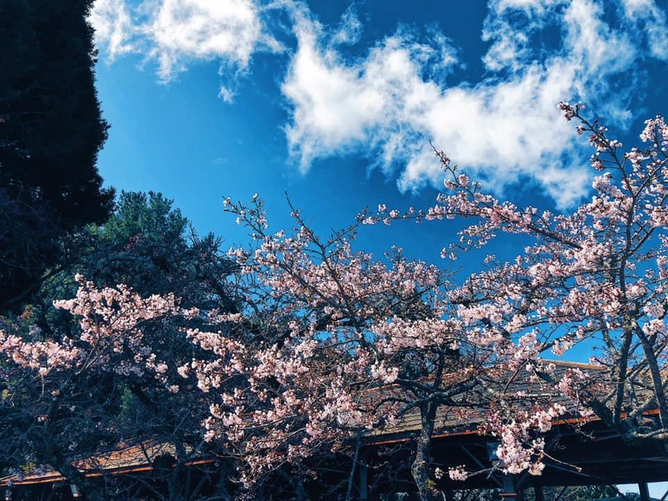 染井吉野櫻接近滿開,徐徐綻放的櫻花超漂亮。圖:取自阿里山國家森林遊樂區粉絲專頁
