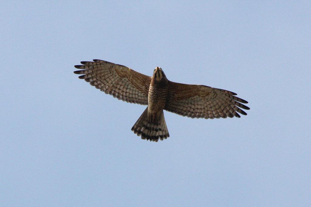 灰面鵟鷹在天上飛翔的樣子意氣風發。圖:交通部觀光局/提供