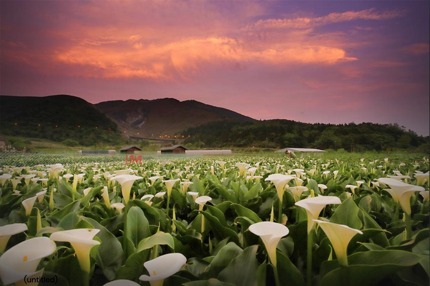 海芋有「雄偉之美」和「潔淨」兩種不同的花語。圖:取自2019竹子湖海芋季數數海芋網站